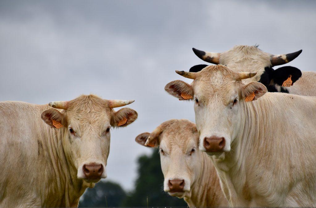 impatto ambientale carne e derivati - allevamento mucche